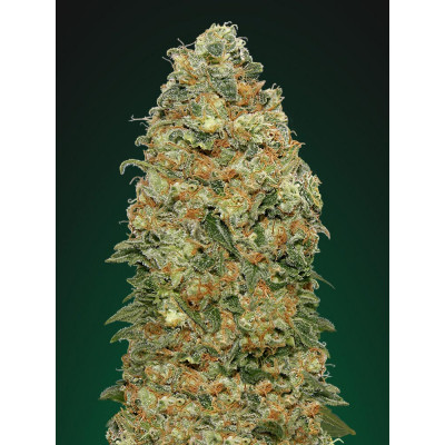 White Widow - 5 sjemenki