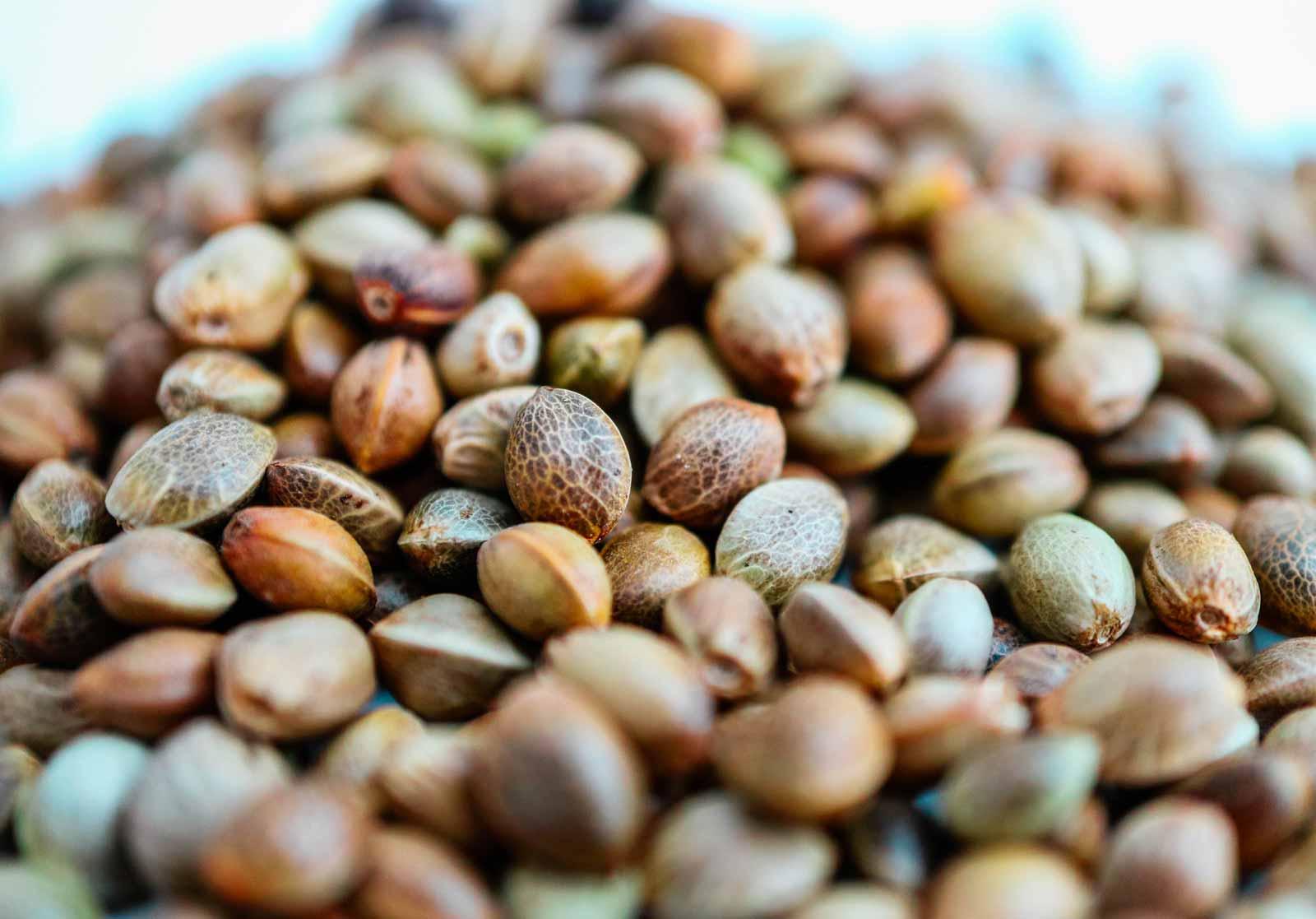 Autoflower sjemenke konoplje